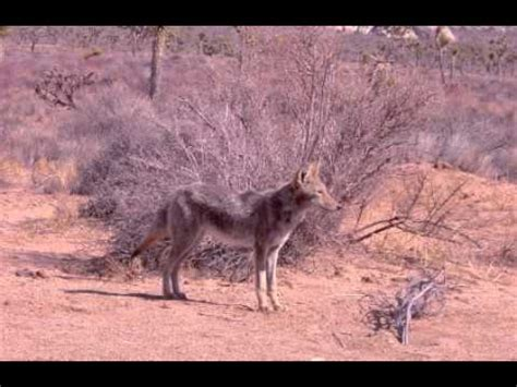 facts about coyotes for kids coyote facts facts about coyotes youtube