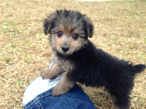 how to a yorkie poo how to yorkie poo puppies hairstyle gallery