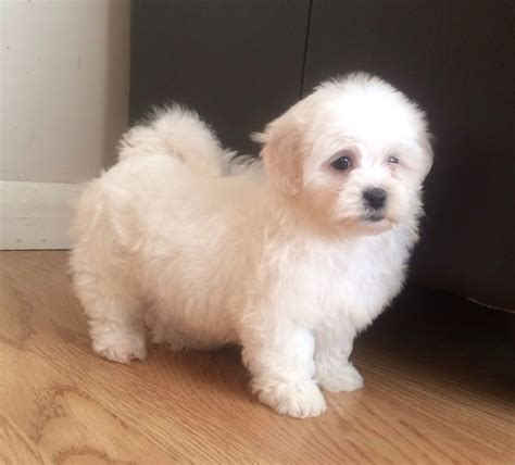 maltese x shih tzu puppies malshi puppy minnie maltese x shih tzu birmingham west midlands
