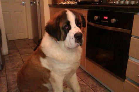 4 month puppy potty potty trained bernard puppies pets for sale uk pet breeds picture