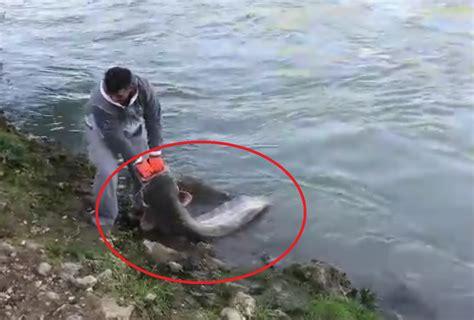 come cucinare il pesce siluro roma un grosso pesce siluro pescato nel tevere