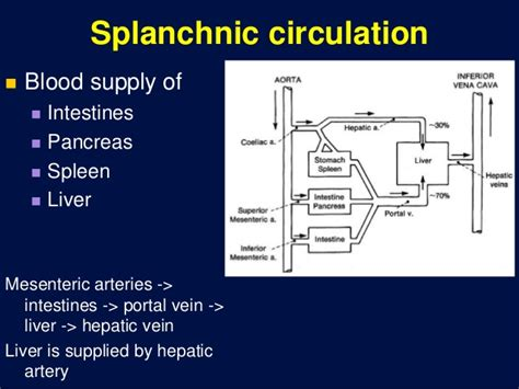 splanchnic bed splanchnic bed 28 images physiology and