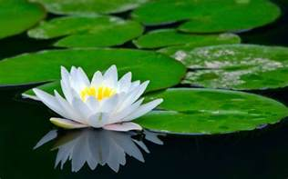 Lotus Images Lotus Flower Images Hd Pictures