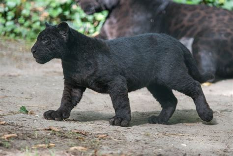 all black jaguar black panther animal cubs cutest baby animals zimbio