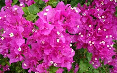 flower with bougainvillea flowers wallpapers hd pictures one hd
