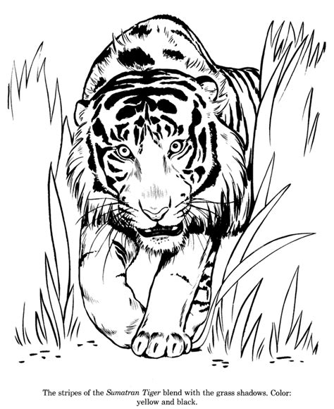 Animal Drawings Coloring Pages Sumatran Tiger Animal Drawing Coloring Pages