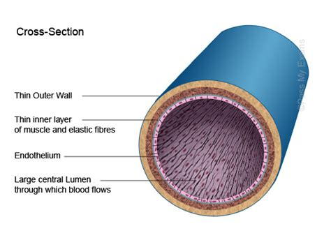 detailed diagram of the cross section of an artery and a
