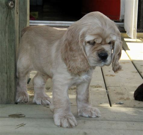 cocker spaniel puppies for sale in ga trigger our caramel american cocker spaniel puppy for sale puppies for sale