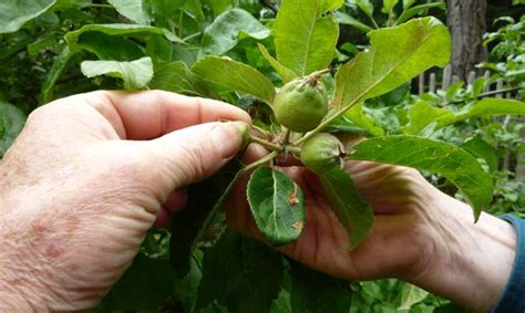 thinning fruit on apple trees eartheasy blognow is the time to thin your fruit trees