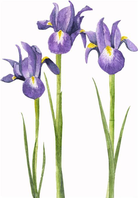 pin by amanda n on iris irises flores watercolor tattoos