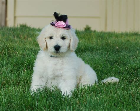goldendoodle puppies for sale in oregon f1b goldendoodle puppy for sale portland oregon