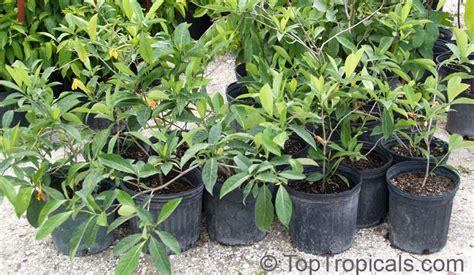 Gardenia Bush For Sale Gardenia Gjellerupii Thai Gardenia Toptropicals