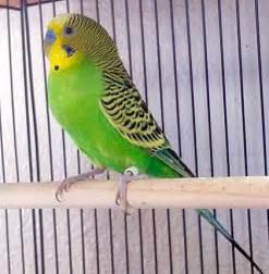 budgie colors budgie parakeet colors varieties mutations genetics