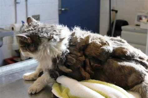Matted Fur On Cats by Cat Was So Matted She Didn T Even Look Like A Cat
