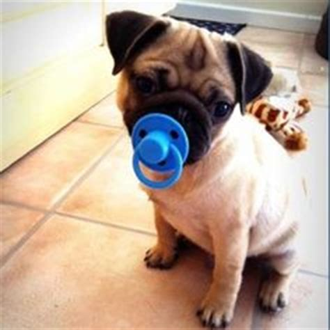 pugs that don t grow top 10 cutest puppies in the world daily news dig shared via slingpic amazing