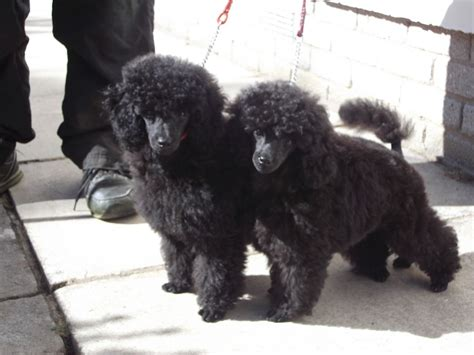 poodle puppies for sale quality poodle puppy for sale ilfracombe pets4homes