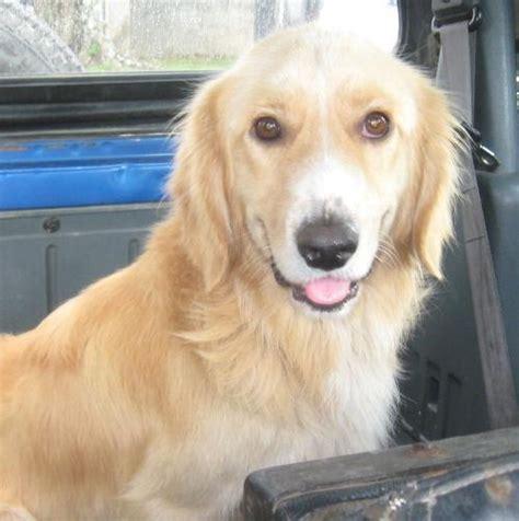 comprar golden retriever costa rica cachorros golden retriever costa rica dogs in our
