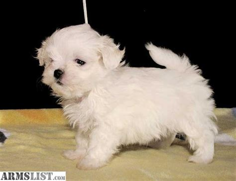 teacup maltese puppies for adoption armslist for sale gorgeous teacup maltese puppies for adoption