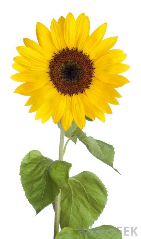sunflower seeds  pictures