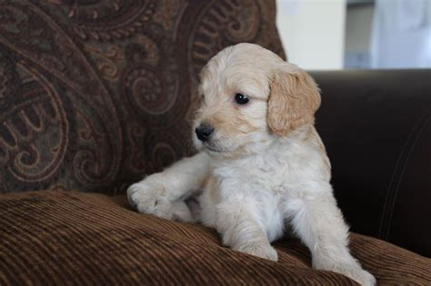 goldendoodle puppy allergies mcgee has found a home f1b mini goldendoodle f1b mini