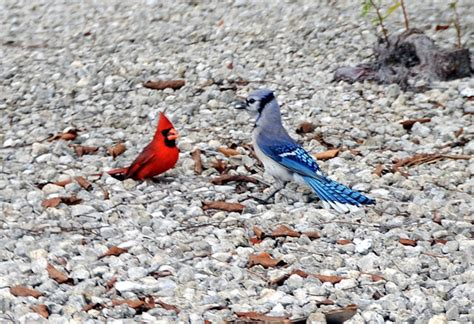 how to attract blue jays to your backyard how to attract blue jays and cardinals