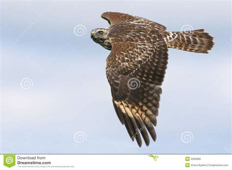 juvenile red shouldered hawk royalty free stock photo