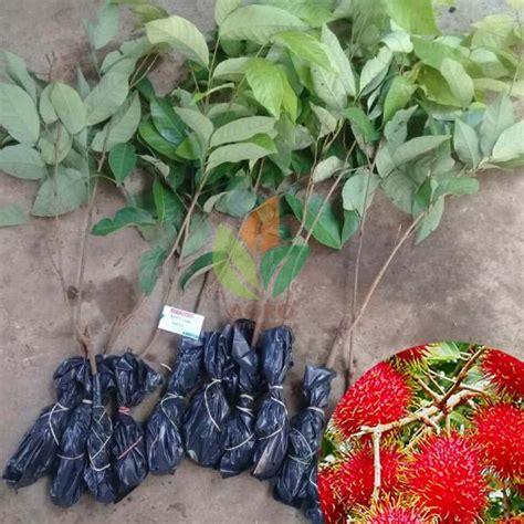 Jual Bibit Rambutan Binjai jual bibit rambutan binjai asal okulasi agro bibit id