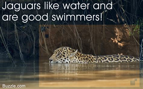 facts about jaguar captivating facts about the food jaguars eat and their habitat