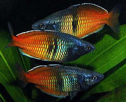 most colorful freshwater fish most colourful tropical freshwater fish