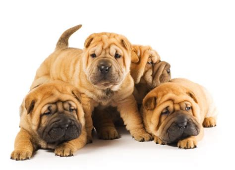shar pei puppies shar pei dogs