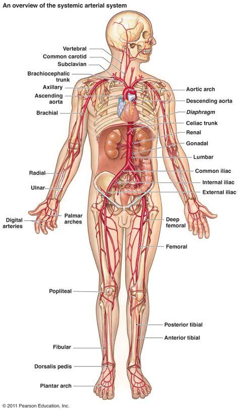 diagram of arteries major arteries and veins diagram