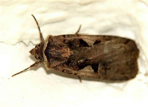 nachtfalter in der wohnung raupen in der wohnung hilfe seltsame raupen in der wohnug