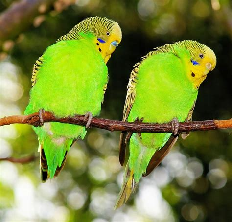 the travels of birds our birds and their journeys to strange lands classic reprint books free photo birds budgerigars green free image on
