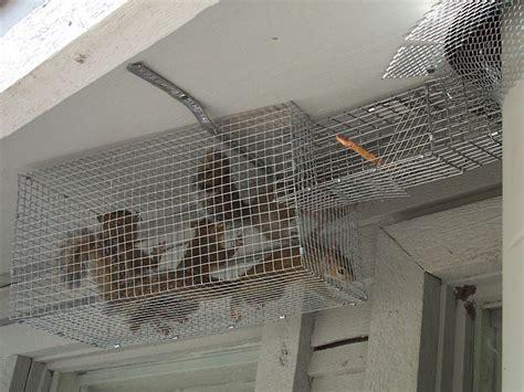 squirrels between the walls home improvement