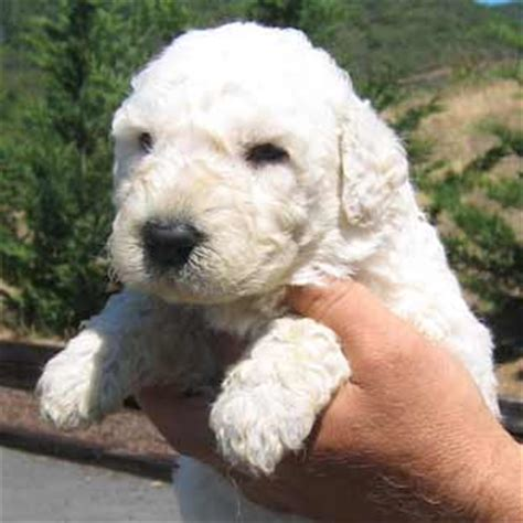 komondor puppy puli puppies for sale puli breeder
