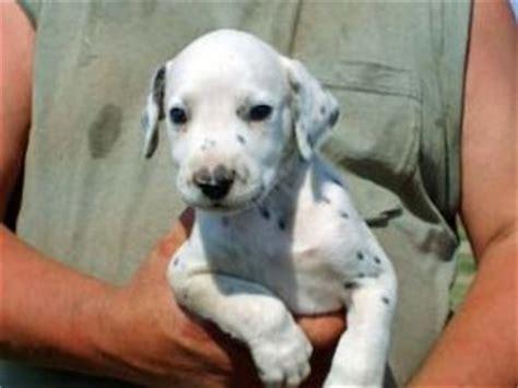 dalmatian puppies for sale iowa dalmatian puppies for sale