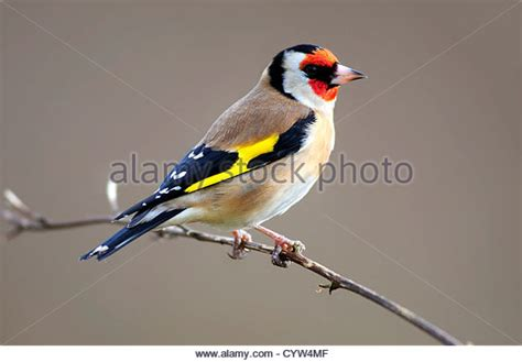 goldfinch in winter stock photos goldfinch in winter