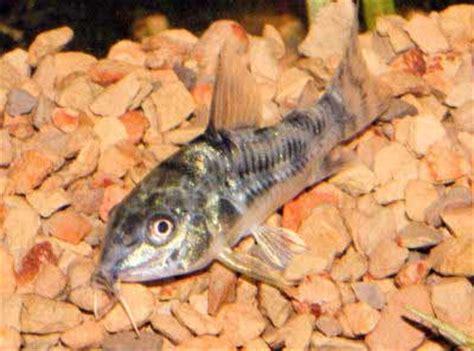 Salt And Pepper Shaolin salt and pepper catfish