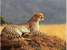Wallpaper Cheetah, Maasai Mara, National Reserve, Kenya ... Ipad Wallpaper 768x1024
