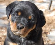 rottweiler puppies for sale in ny rottweiler puppies for sale island nassau manhattan