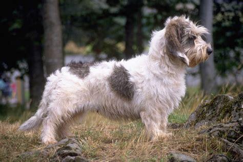 pbgv puppies for sale petit basset griffon vendeen jpg