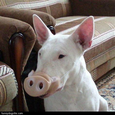 pig dogs pig funnydogsite