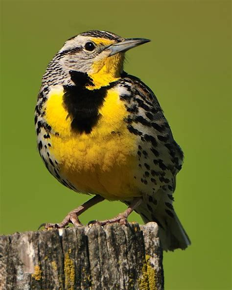 state bird of south dakota 53 best images about state birds and flowers on pinterest