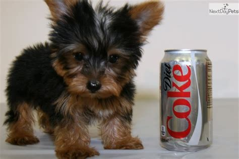 teacup yorkies for sale in columbus ohio yorkie puppy for sale in columbus breeds picture