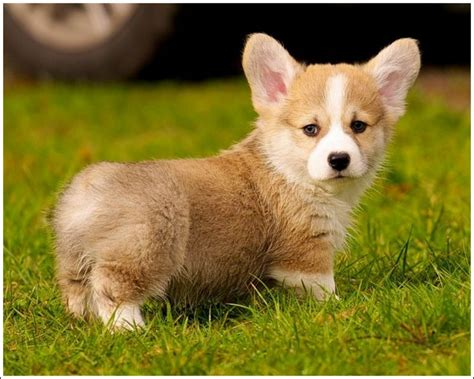 corgi puppies for sale chicago pembroke corgi puppies for sale in mn beautiful pembroke corgifor sale