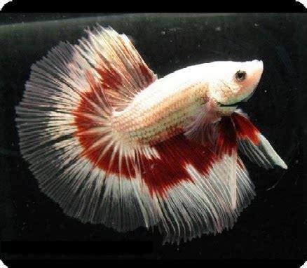 Makan Ikan Cupang Pelet bisnis ikan hias jenis jenis ikan hias air tawar yang pas