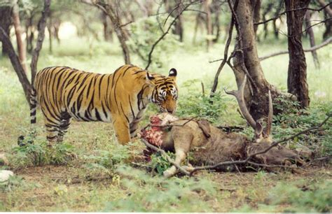 Essay On Tigers In India by Indian Tiger Projects Find Out About Our Projects 21st Century Tiger 21st Century Tiger