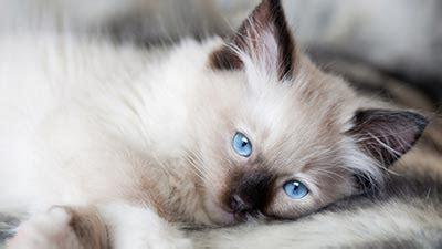 Sho Rainbow So Kucing Sho Kucing Dan Baby Cat Kittens 250ml 10 kucing tercantik di dunia