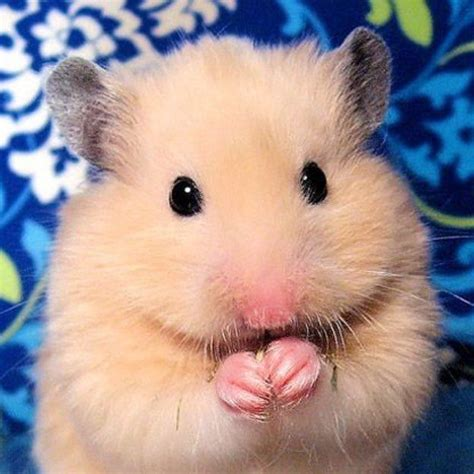 hamster mobile best 25 hamsters ideas on hamsters