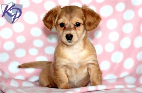 chiweenie puppies price tilly keystone puppies puppies for sale health guaranteed